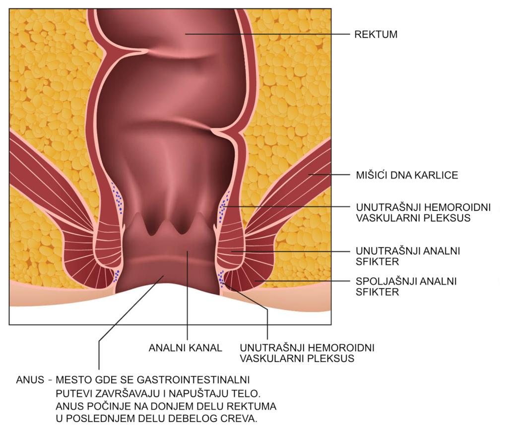 Anatomija rektuma